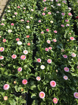 Gänseblümchen - Rosa