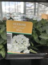 """Verbene """"Weiß"""" - 10er Tasse"""