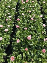 Gänseblümchen - Rosa großblütig