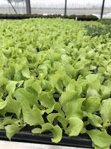 Kopf- Salat