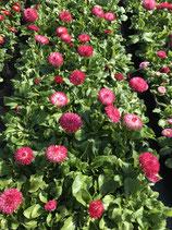 Gänseblümchen - Pink/Rot großblütig