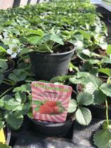 "Erdbeere ""Anabelle"""