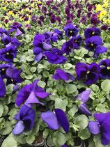 Viole - Farbe: Blau