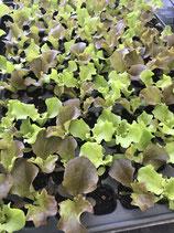Pflück- Salat