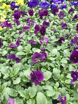 """Viole """"Mini"""" - Farbe: Violett"""