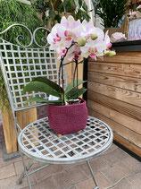 Orchideen in verschieden Farben erhältlich.