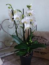 Orchidee weiss 5-6 Triebe, ohne Übertopf
