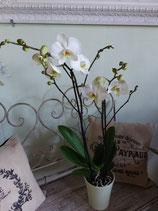 Orchidee weiss 2-3 Triebe, ohne Übertopf