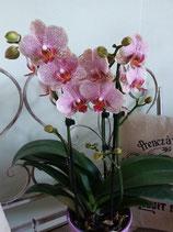 Orchidee rosa (Farbton kann variieren), 2-3 Triebe, ohne Übertopf
