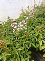 Spinnenpflanze/ Cleome