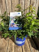 Lucky Berry Blaubeere reine Pflanzenhöhe ca. 30cm