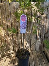 Duftflieder 'Lavender Lady' reine Pflanzenhöhe ca. 90 cm
