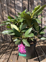 Rhododendron - 'English Roseum'  Topfdurchmesser 19 cm reine Pflanzenhöhe ca. 35 cm