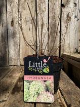 Hydrangea paniculata 'Jane' Little Lime' reine Pflanzenhöhe ca. 20-30cm
