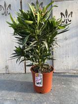 Oleander Busch rosa Höhe ca. 70cm