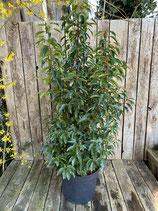 Prunus lusitanica 'Angustifolia' - Portugiesischer Kirschlorbeer h 80/100cm