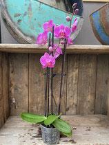 Phalaenopsis pink 3-rispig Höhe ca. 60cm