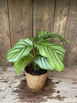 Calathea großblättrig gestreift im Kokosfasertopf  Höhe ca. 26cm