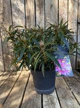 Rhododendron ponticum 'Graziella' Topfdurchmesser 19 cm reine Pflanzenhöhe Höhe ca. 30 cm