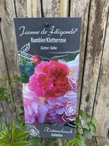 Rambler / Kletterrose 'Joanne de Feligande'