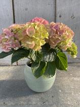 Hortensie rosa/ Topf mint