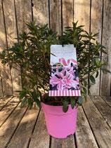Rhododendron obtusum 'Pink Spider' Topfdurchmesser 21cm reine Pflanzenhöhe Höhe ca. 37cm