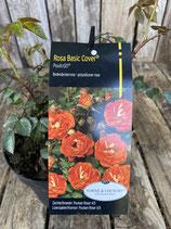 Bodendeckerrose Rosa Basic Cover 'Poultc021'