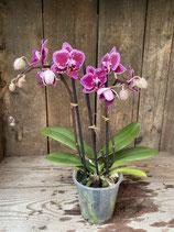 Phalaenopsis pink midi Höhe ca. 30cm