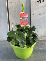 Hängeampel Aroma-Erdbeere Elan