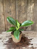 Phildodendron grün im Kokosfasertopf  Höhe ca. 20cm