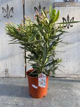 Oleander Busch creme Höhe ca. 70cm