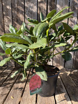 Rhododendron - Hybride 'Nova Zembla' Topfdurchmesser 19 cm reine Pflanzenhöhe ca. 38 cm