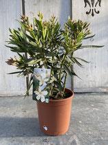 Oleander Busch creme Höhe ca. 55cm