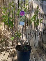 Duftflieder 'Primrose' reine Pflanzenhöhe ca. 90 cm