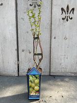 Gelbe Stachelbeere reine Pflanzenhöhe ca. 40cm