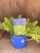 Sedum x hybridum 'Winter Lemon' - Fetthenne