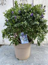 Solanum rant. Busch groß