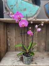 Phalaenopsis pink Höhe ca. 40cm