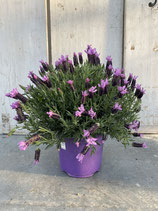 Schopflavendel lila Busch