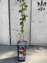 Schwarze Brombeere 'Black Satin' Reine Pflanzenhöhe ca. 40-50cm