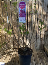 Duftflieder 'Znamya Lenina' reine Pflanzenhöhe ca. 100 cm