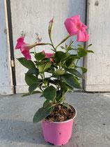 Dipladenie / Mandevilla  Topf  10,5cm pink