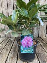 Rhododendron - Hybride 'Pink Purple' Topfdurchmesser 19 cm reine Pflanzenhöhe ca. 40 cm