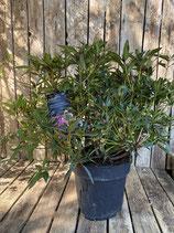 Rhododendron ponticum 'Graziella' Topfdurchmesser 27 cm reine Pflanzenhöhe Höhe ca. 45 cm