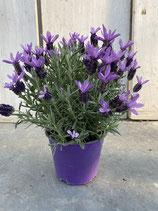Angebot Schopflavendel lila Topf 14cm