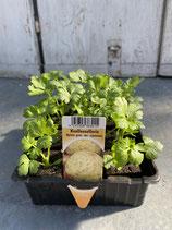 Knollensellerie - 12 Jungflanzen in Schale