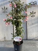 Fuchsien Säule rosa Höhe ca. 95cm