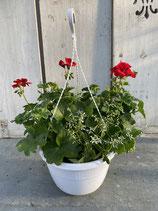 Hängeampel Geranie / Euphorbia Topfdurchmesser 27cm