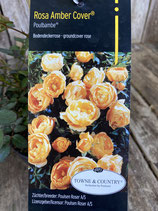 Bodendeckerrose Rosa Amber Cover 'Poulbambe'
