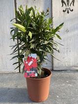 Oleander Busch rot Höhe ca. 55cm